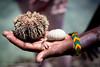 Sea Hedgehog (Sea urchin) (Petri Lopia) Tags: africa travel sea nature animal coast kenya hedgehog creature urchin mombasa seahedgehog echinoidea marinea