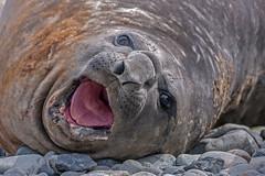 Southern Elephant Seal, Jenny Island, Antarctica (bfryxell) Tags: mouth wildlife antarctica jennyisland southernelephantseal
