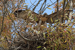 Working on Majestic (Beth Sargent) Tags: bird nature fly wings nest flight feathers young raptor juvenile redtailedhawk nestling
