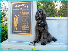 Memorial Day (Bennilover) Tags: dog dogs war honor worldwari soldiers wars labradoodle benni memorialday bravery sacrifice memorials