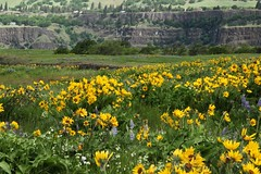 Spring time in the Columbia River Gorge (gary windust) Tags: tommccallpreserve