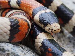 lampropeltis_pyromelana_infralabialis-3 (Brian Eagar Nature Photography) Tags: nature animal utah outdoor reptile snake wildlife depthoffield herp kingsnake lampropeltis lampropeltispyromelana utahsnake utahherps lampropeltispyromelanainfralabialis utahreptile