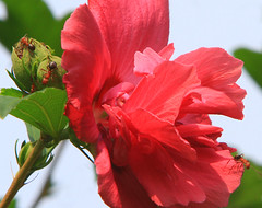 Ants at Work (Reid2008) Tags: red hibiscus ants roseofsharon hibiscussyriacus doublebloom