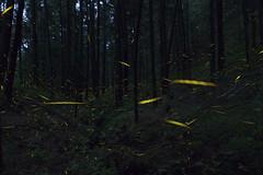 luciernagas2 (omar.espaciosvivos) Tags: insectos luciernagas