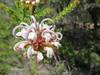 Grey Spider Flower (jdf_92) Tags: australia nsw flower wildflower kuringgai kuringgaichase nationalpark grevilleabuxifolia greyspiderflower