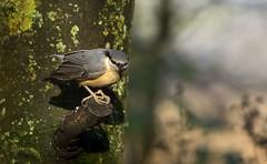 Nuthatch at RSPB Lochwinnoch (Mark Illand) Tags: nuthatch rspb lochwinnoch birds bird nature wildlife photography clyde animals animal bto soc sony sonyalpha sonyalphadslr a77 minolta 300mmf4 travel outdoor reserve scotland