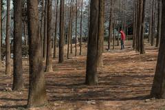 still forest (ChenLiang0729) Tags: redman trees forest winter winterforest lightandshadow nature naturetaiwan naturelandscape natureportrait minimalperson explore exploring mysterious stillness taiwan taichung 台灣 台中 探索 靜謐 森林 落羽松