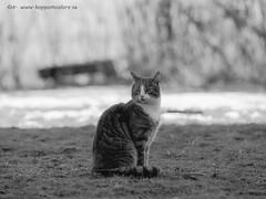 2017_03_11 (26)-2 (koppomcolors) Tags: koppomcolors katt cat kodak tmax100