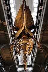 IMG_0627 (jaybluejeans94) Tags: manchester manchestermuseum museum animal animals skeleton uk architecture reptile reptiles bones lizard chamelion dinosaur nature