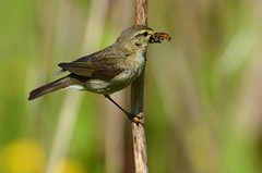 Willow Warbler (Phylloscopus trochilus) (Brian Carruthers-Dublin-Eire) Tags: old world warblers passeriformes phylloscopidae phylloscopus trochilus willow warbler pouillot fitis mosquitero de los sauces ceolaire sailí oldworldwarblers phylloscopustrochilus willowwarbler pouillotfitis mosquiterodelossauces ceolairesailí bird animalia animal