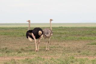 IMG_5042a - Ostrich (Struthio camelus massaicus)  (m. & f.), Ndutu, Tanzania - GPS #389