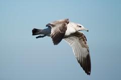 bird sfo public shoreline flight airborne flying sea gull dark wing tips from below