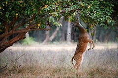 Rajasthan Wildlife (tourofrajasthan) Tags: rajasthan rajasthantours rajasthantourpackages rajasthanholidays wildlife rajasthanwildlife aboutrajasthanwildlife travel private tours operator india holidays packages tigers deer ranthambhore