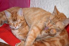 """Les 2 frères, morfales et cossards, vous souhaitent un bon dimanche (changement d'heure ? bofff... on dort) (Brigitte .. . """"Tatie Clic"""") Tags: 201703121 chat intérueur deux 2 roux animal animaldecompagnie sommeil"""