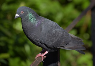 Rock Dove or Feral Pigeon.-Columba Livia