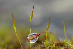 Umschlossen von einem Wassertropfen (Oerliuschi) Tags: drops wassertropfen natur grashalm pflanze olympusm60 lumixgx8 panasonic