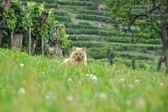 Niederösterreich Wachau Spitz 081 (reinhard_srb) Tags: niederösterreich wachau spitz kater weingarten weinstock terrasse gras wiese regentag schlchtwetter nass rebe winzer katze tier