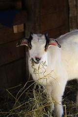 Baby Bologna (male) (Brandi Bonde) Tags: goats babygoats babyanimal babyfarmanimal caprine meatgoats harmonyfarm hay forage feed boer kiko dairy horns smallfarm