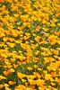 Desert Wildflower Super Bloom (Rob.Bertholf) Tags: superbloom southerncalifornia hemet diamondvalleylake diamondvalley rare california californiapoppy wildflower wildflowers californiawildflowers southerncaliforniawildflowers poppy desertpoppy californianpoppy californiastateflower stateflower californiaspringlandscape spring springflowers springwildflowers eschscholzia californica