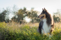12/52 Leia & Spring afternoon (shila009) Tags: leia dog perro spring afternoon animal natural light tardes fields campos primavera portrait retrato 52weeksproject happy roughcollie tricolor nikkor flowers