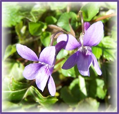 Violets (ERIK THE CAT Struggling to keep up) Tags: wildflowers wenlockedge shropshire violets violacanina