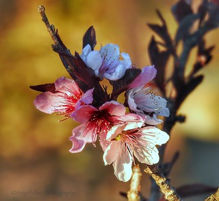 ' Bonfire ' Flowering Peach Blossoms