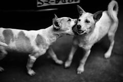 Sibling Rivalry (N A Y E E M) Tags: puppy dog bitch siblings play fight frontyard home rabiarahmanlane chittagong bangladesh