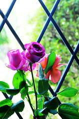 DSC_6721 (PeaTJay) Tags: nikond300s sigma reading lowerearley berkshire macro micro closeups gardens indoors nature flora fauna plants flowers rose roses rosebuds