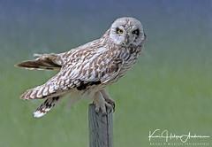 04-IMG_0621 (Kai Helge Andersen) Tags: shorteared owl jordugle birds