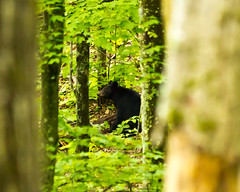 Curious Momma (JD Seibel) Tags: canon woods hiking tennessee smokymountains blackbear 60d