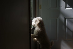 Steadfast Door Guardian (funkblast) Tags: door dog white window up mix pentax 28mm iso 200 poodle buff kr pup 35 smc cockapoo opo f35 smcm