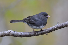 The Junco Blues (PeterBrannon) Tags: bird nature rain novascotia rainyday wildlife darkeyedjunco wetbird