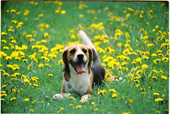 Happy Jonathan. (Leavethelies) Tags: dog pet sun film smile grass weather tongue analog 35mm happy spring friend warm colours minolta tired slovakia colourful lying dandelions srt101 leavethelies