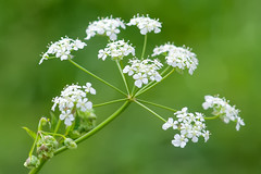 Cow Parsley-22 May 2013 (Martyn Gill - IMAGES...-150k-Views-THANK YOU) Tags: uk white flower sunshine canon 350d leeds wildflowers westyorkshire cowparsley yeadon anthriscussylvestris martyngillimages2013