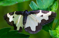 Fri som en fjril (Alpstedt) Tags: closeup butterfly bug insekt nrbild fjril sommarfoto lomaspilismarginata litenflckmtare sf130623