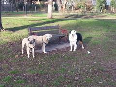 Lucy, Shepo and Punchkin (Rayya The Vet) Tags: dog goldenretriever vet canine australianshepherd geriatric dogwalk fostering twitter whippetcross vetpets