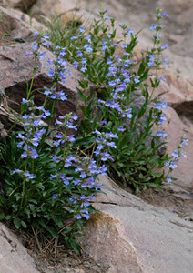 Photo - Blue Mist Penstemon