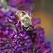 Bee, on Buddleja