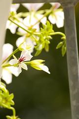White Geranium flowers (Lovando) Tags: flowers flower fleur fleurs balcony balkon den blumen hague haag blume bloemen bloem balkonbloemen