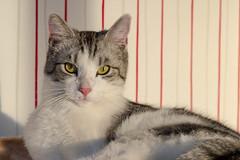 Oskar...relaxt (ribehrend) Tags: tiere natur indoor oskar katzen fotoag sugetiere