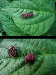 22-08 (pelargoni) Tags: hm owady 2013 robaki poiuytrewq