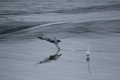 IMG_5642 (armadil) Tags: california bird beach heron birds beaches egret greatblueheron mavericks californiabeaches