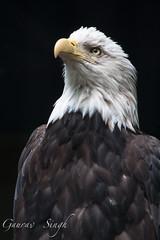 Bald Eagle (gauravs82) Tags: white bird eye smart yellow closeup golden eagle symbol beak feathers bald feather sharp national raptor predator birdofprey plumage haliaeetus leucocephalus