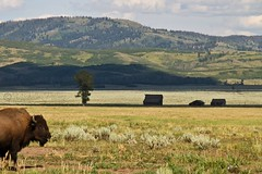 Photobombing Bison (cll) Tags: buffalo yellowstone grandtetons bison photobomb