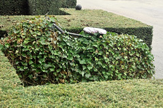 Ivy surprise (IngeHG) Tags: belgium ivy surprise hedges overijse vlaamsbrabant jezuseik t189522013weeks3738