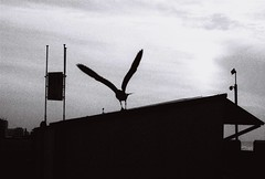 V (CroytaqueCie) Tags: sea blackandwhite bird film beach birds photography photographie belgium belgique minolta noiretblanc kodak belgië v northsea dynax oiseau kodaktmax400 seabird argentique merdunord depanne filmphotography filmisnotdead minoltadynax4 believeinfilm