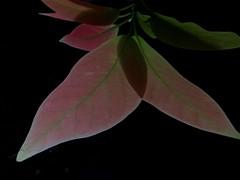 Por sus hojas navego........ (TeresalaLoba) Tags: leaves garden hojas avocado spain jardin galicia gondomar feuilles aguacate palta perseaamericana ahuacatl follas lauraceae peitieiros teresalaloba reinodegondor mezio004