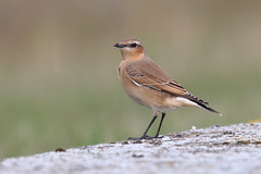 Northern Wheatear (Oenanthe oenanthe) (Wildlife Photography by Matt Latham) Tags: bird nature canon chat wildlife lincolnshire migrant wheatear oenantheoenanthe northernwheatear mattlatham