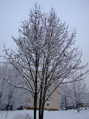 FUJI20130123T153536 (Robert.BlueSky) Tags: winter snow tree nature garden bb zima priroda zahrada sneh banby foncorda