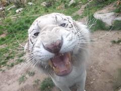 Photo-1773 (sebastienloppin) Tags: bridge animal zoo fuji finepix fujifilm metz sauvage amneville s4500 tigreblanc